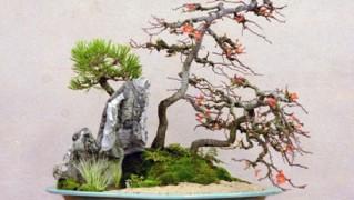 長寿梅石付き盆栽1