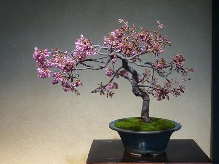 富士桜(芙蓉園)1