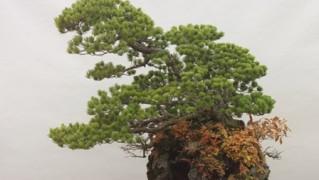蔓青園加藤三郎「五葉松」石付き(大宮盆栽美術館蔵)小サイズ1