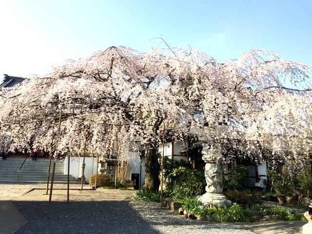 慶福寺 けいふくじ 蓮田 まにわ塔 天台宗 将軍桜