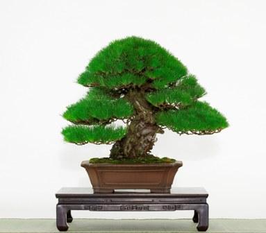 貴重盆栽「黒松」平本良太郎氏蔵1