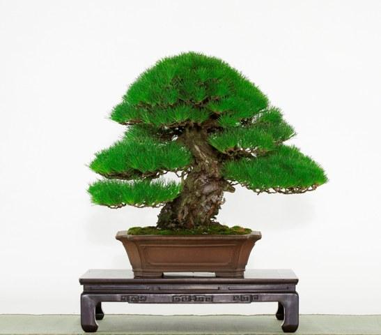 貴重盆栽「黒松」平本良太郎氏蔵11