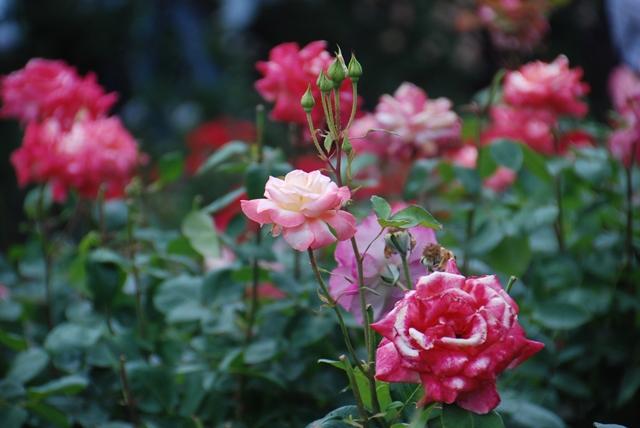 ばらまつり 2018 与野 与野公園 バラ祭り