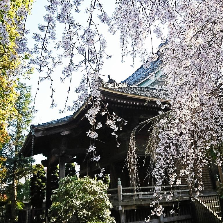 桜の名所 浦和 玉蔵院 桜
