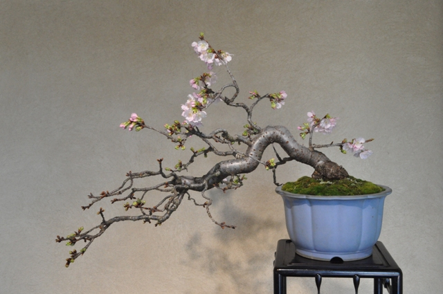 寒桜(藤樹園)1