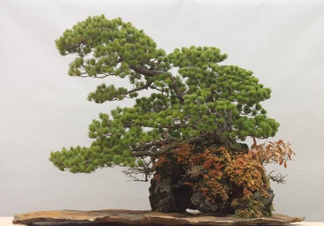 蔓青園加藤三郎「五葉松」石付き(大宮盆栽美術館蔵)小サイズ2