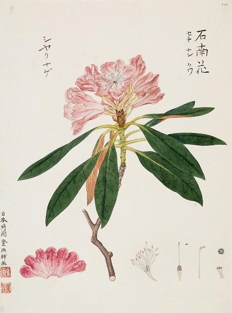 02_川原慶賀《ツクシシャクナゲ》1824-1828年_m1