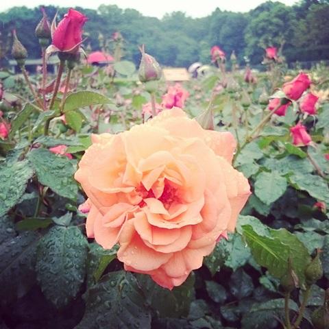 神代植物公園  調布 バラ 金刺よしこ