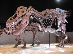 5.ティラノサウルス(ワイレックス)全身骨格1